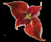 1431111644 coleus root extract image 170x140