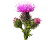 1435603473 great burdock root extract image 170x132