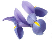 1435606069 iris root extract image 170x132