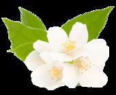 1394227552 jasmine flower extract image 170x140
